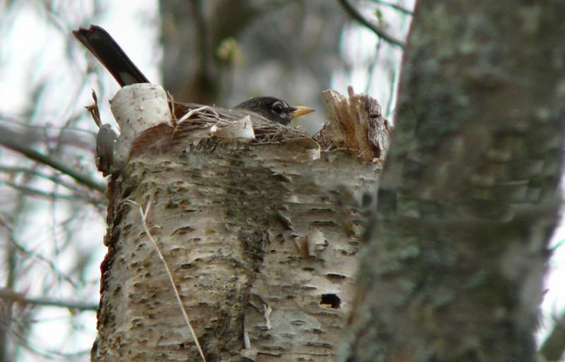 Robin on nest at Little Bay