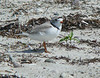 Piping Plover at Town Beach