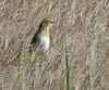 Saltmarsh Sharp-tailed Sparrow at Hacker St.