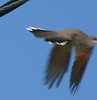 Yellow-billed Cuckoo takes off at Wilbur Point