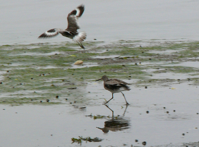 Dueling Willets at Hacker St.