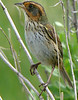 Saltmarsh Sharp-tailed Sparrow.  Note yellow edge to wing feathers at Hacker Street
