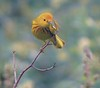 Yellow Warbler gives us the high five...er, four