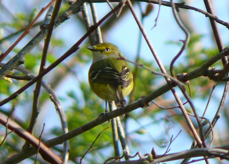 White-eyed Vireo at Little Bay