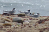 Least Terns at Gooseberry