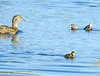 Adult Grebe attacked small Mallard family