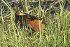 Female King Rail with Clapper male