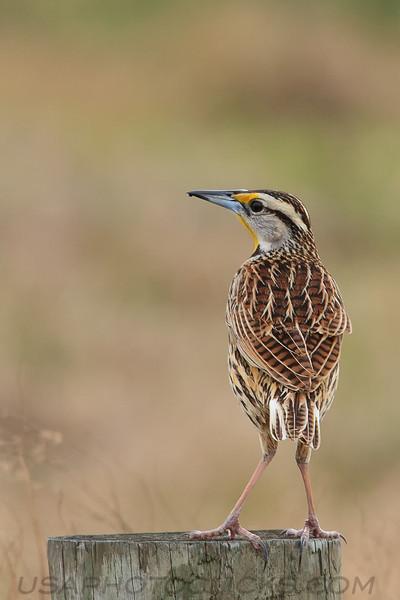 Eastern Medowlark (b1322)