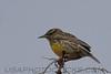 Eastern Medowlark (b1323)