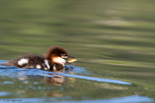 0U2A1818_Merganser chick with fish