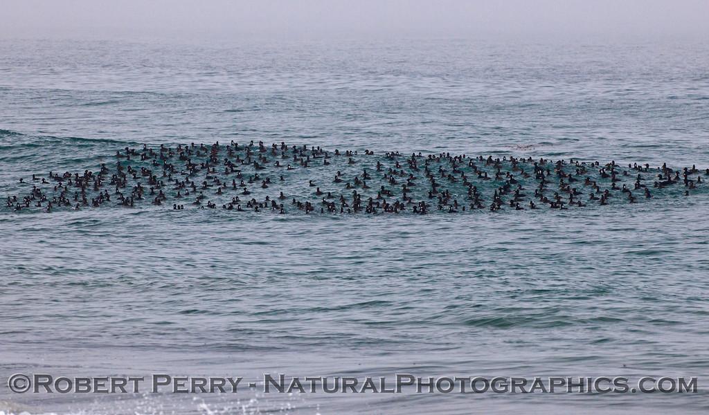 Melanitta perspicillata massive flock on water 2012 03-22 Zuma-092