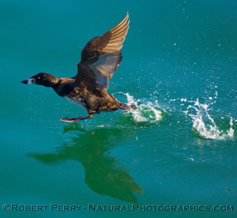 Surf scoter taking off on glassy green-blue water.
