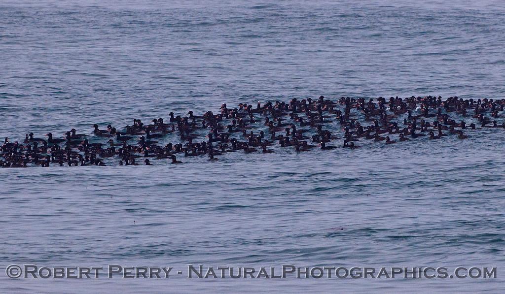 Melanitta perspicillata massive flock on water 2012 03-22 Zuma-111CLOSE