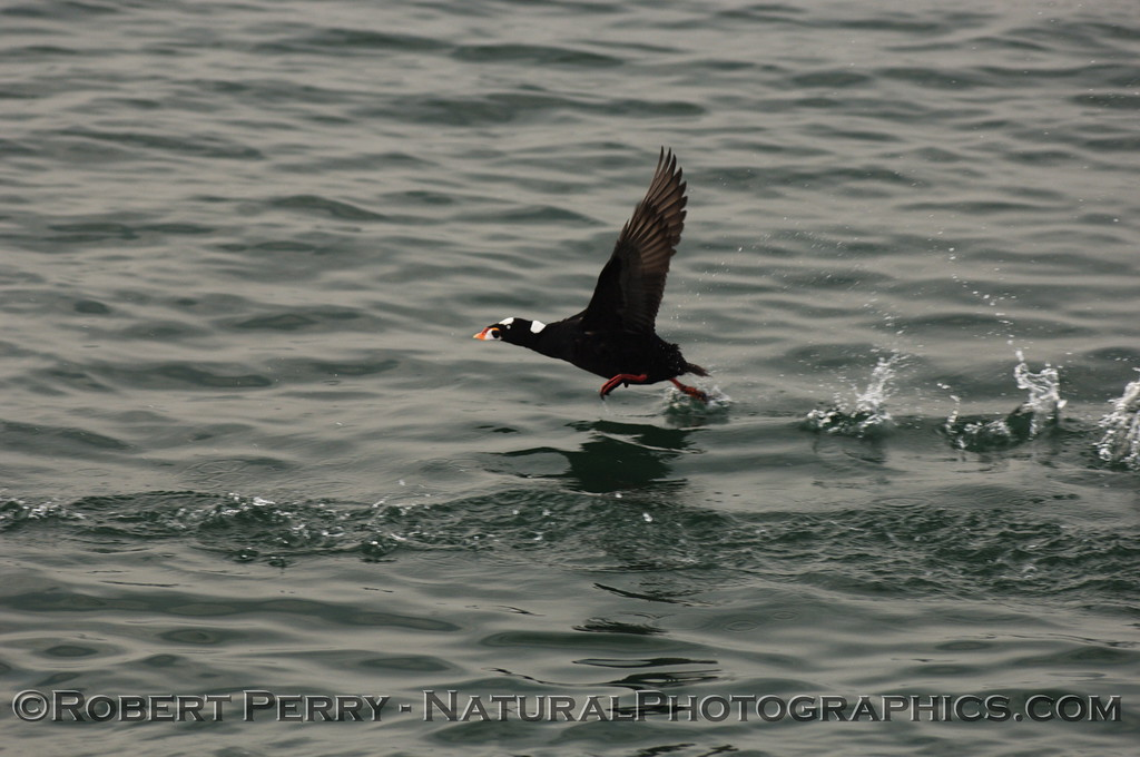 Male scoter taking off.