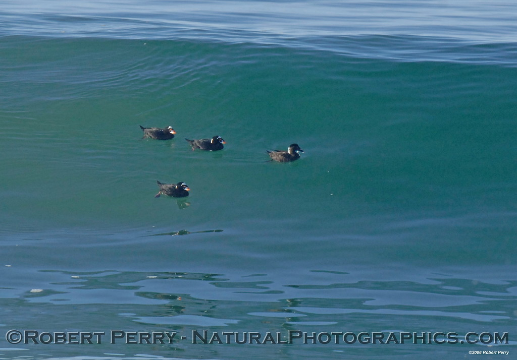 Four scoters on a glassy wave.