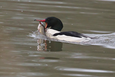 Common Merganser with fish
