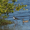 Blue Winged Teal and Black necked Stilt