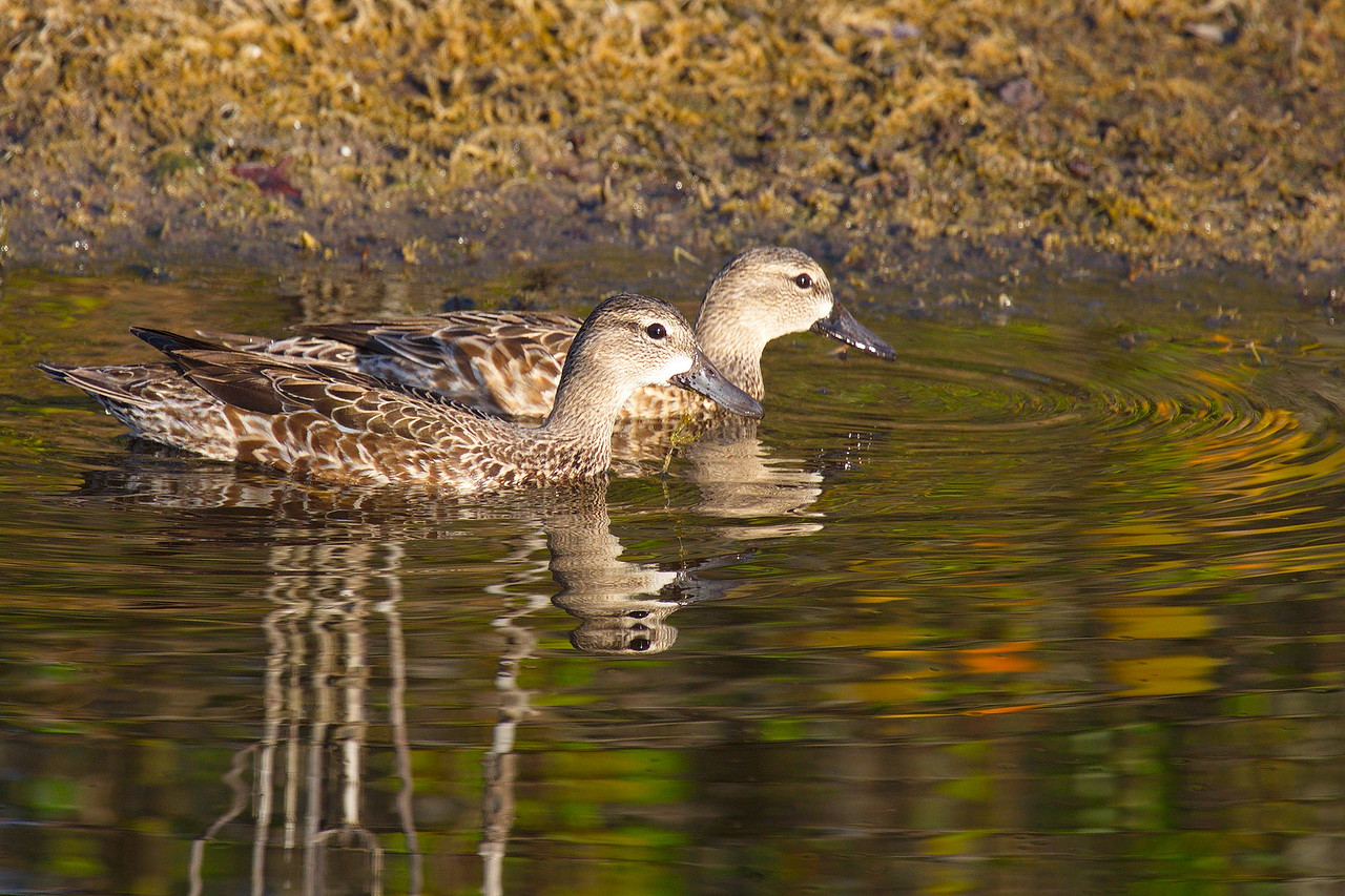 Two female blue-winged teals swim together. The blue is not often visible, and at times I confuse these birds with mottled ducks. These are tipping ducks, and, as they search for food, one can often see only their butts and tails pointing skyward, floating on the water like icebergs, their heads and chests submerged.
