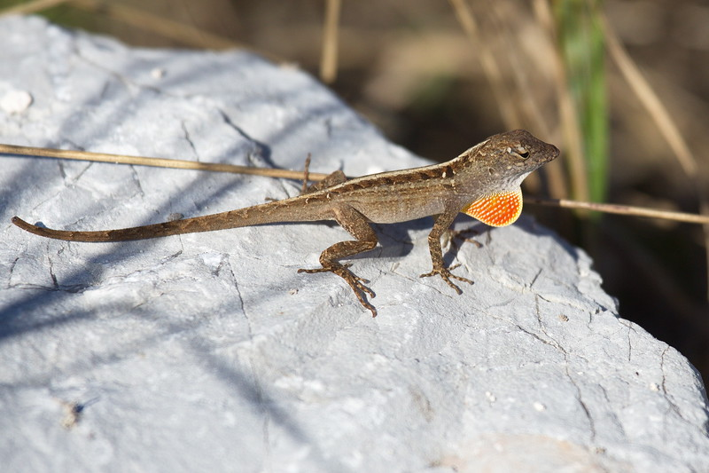 A brown anole displaying its dewlap. Originally from Cuba and the Bahamas, brown anoles are an invasive species that now range widely across Florida and other southern states. The dewlap indicates that this anole is a male. Males extend their dewlap for sexual and territorial purposes.