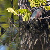 As the prior green heron's, this branch-sitter's movements were glacially slow. Its gaze was intent on its menu choice. When the entree was within striking distance, ...