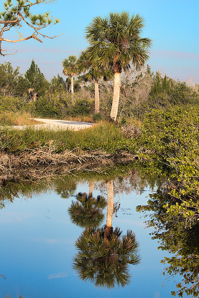 Palm trees and their reflections along the six-mile Blackpoint Wildlife Drive in the MINWR. Driving this road is a great way to spend a couple hours admiring the wildlife, from thousands of birds in the winter, to alligators, and the occasional otter. This refuge was created as a buffer zone to the Kennedy Space Center on Cape Canaveral. Just to the east of this refuge is Playalinda Beach in the Canaveral National Seashore with 14 parking lots providing ocean access, and one parking lot providing Mosquito Lagoon access. This undeveloped beach is about 24 miles long and stretches north to Apollo Beach on the south side of Daytona Beach.