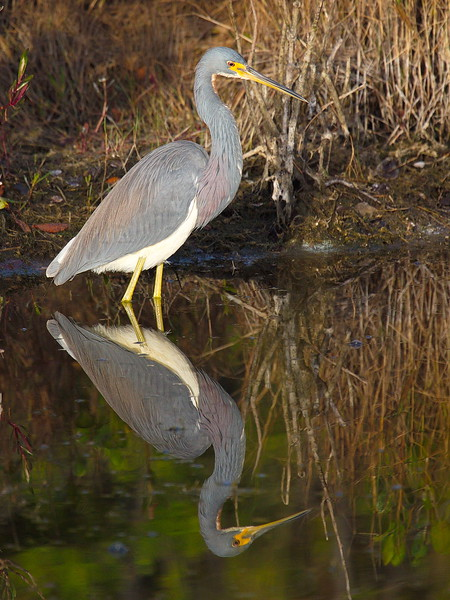 Another tri-colored heron in another place facing another direction. These wading birds seem to spend all their daylight hours searching for food.