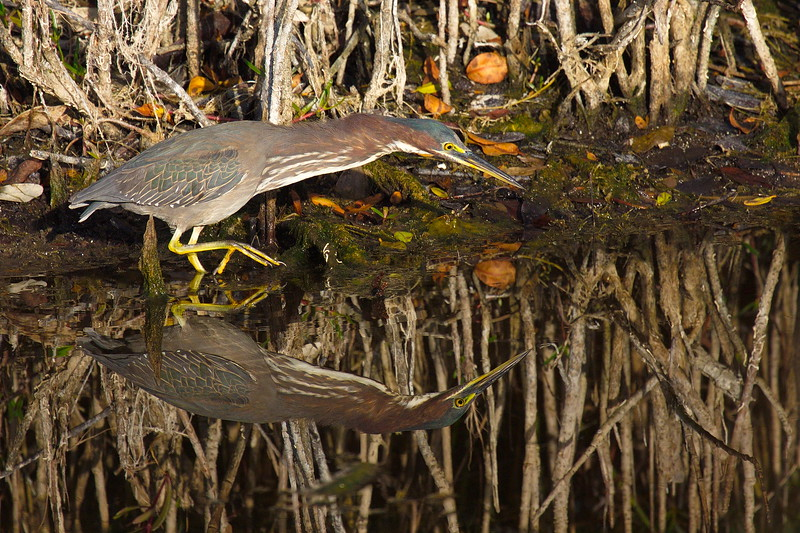 This is a green heron, though I don't often see any green on it. In contrast to the tri-colored heron's often wild antics, the green heron's movements are rare, slow, calculated and pin-point accurate. That raised foot was moving very slowly, and the birds advances were very slow, with more stops than starts. Green herons may be my favorite wading bird because of their diligent hunting skills and their high success rate.