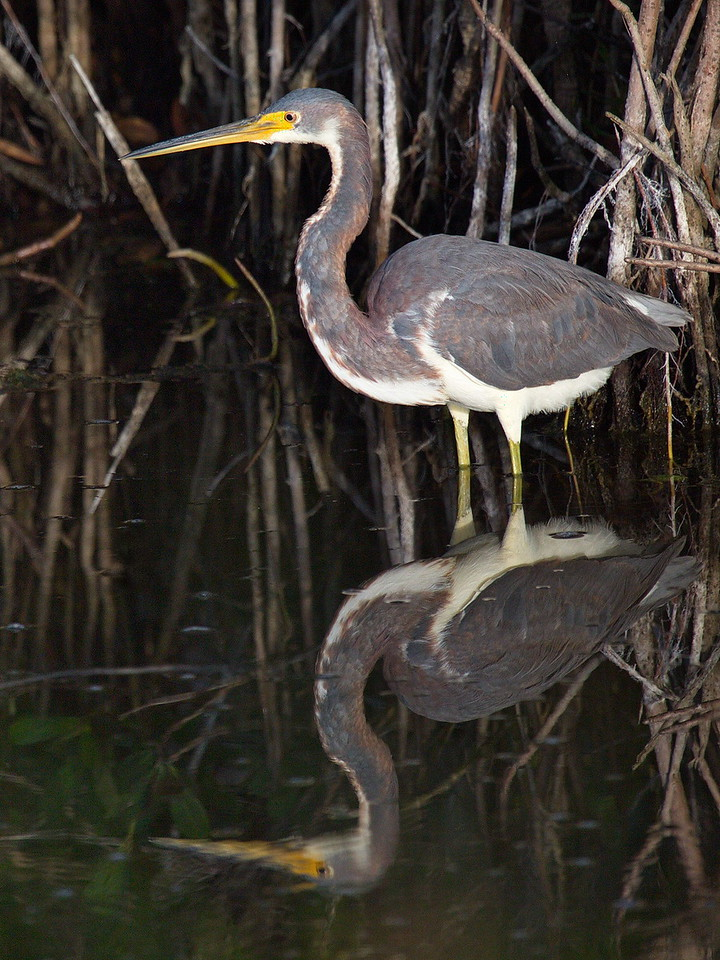 This is a tri-colored heron and its reflection. This heron often runs around like a crazy bird, making fish move and become visible so it can snatch them with its long, sharp bill. Sometimes it will spread its wings over its head in an umbrella fashion to block the sun and help it see into the water.