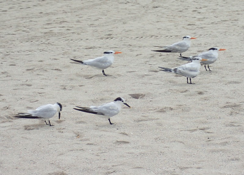 Sandwich Terns (black bill) & Royal Terns (Orange Bill)