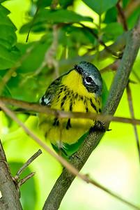 Magnolia Warbler, Crane Creek,OH