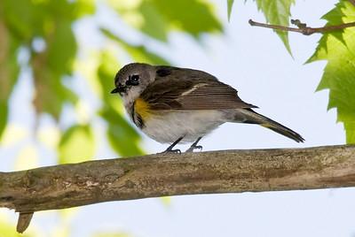 1st spring male American Redstart, Crane Creek,OH