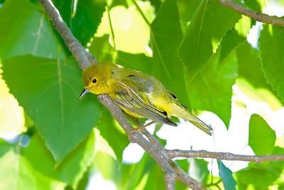 Yellow Warbler, Crane Creek,OH
