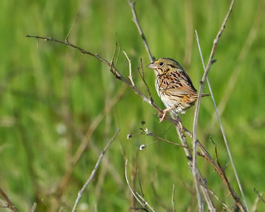 Henslow's Sparrow. Tri Valley Wildlife Area, Ohio.