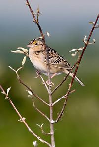 Grasshopper Sparrow, Ohio.