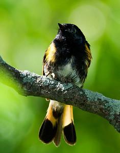 Male American Redstart, Crane Creek,OH