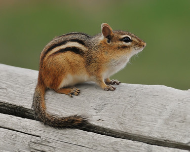 Eastern Chipmunk, Michigan.