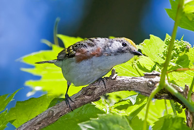 CHESTNUT-SIDED WARBLER, male