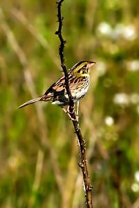 Henslow's Sparrow. Tri Valley Wildlife Area, Ohio.