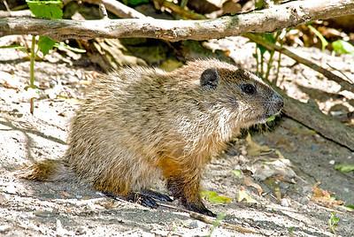 Groundhog pup, Crane Creek,OH