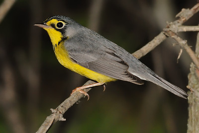 CANADA WARBLER, male