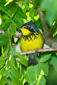 Male Canada Warbler. Crane Creek, Ohio.