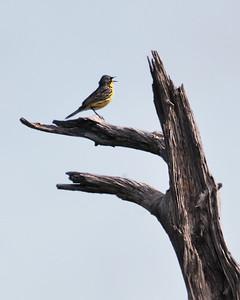 Kirtland's Warbler, near Mio, Michigan.