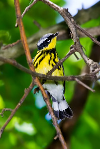 Male Magnolia Warbler, Crane Creek, Ohio.