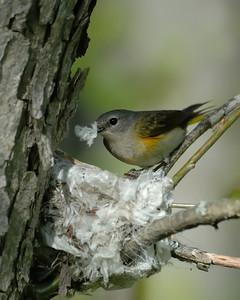 Female American Redstart, Michigan.