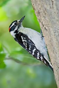Male Downy Woodpecker, Crane Creek, Ohio.
