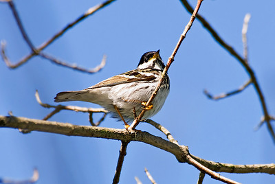 Male Blackpoll Warbler, Crane Creek, Ohio.