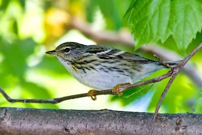 Female Blackpoll Warbler, Crane Creek,OH