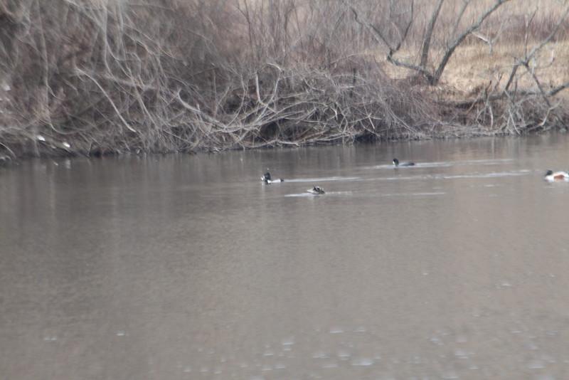 Ring necked ducks, shoveler and other ducks