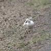 same snow goose