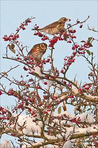 """That was mine"" said the Redwing  . . . .  ""I want never gets"" replied the Fieldfare loftily"